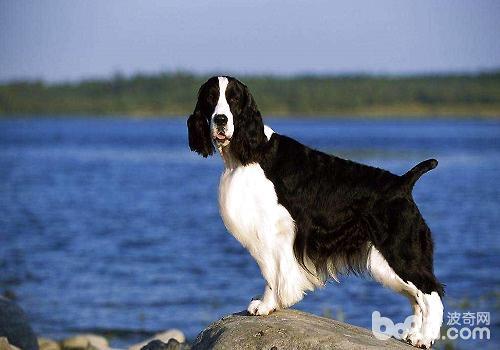 史宾格犬应该如何对其训练?-狗狗技巧训练